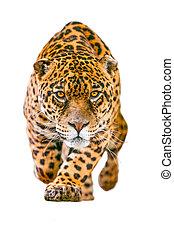 salvaje, blanco, jaguar, aislado, gato