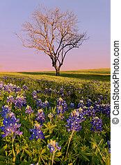 salvaje, bluebonnet, flor, tejas