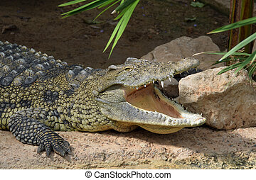 salvaje, cocodrilo,  animal, mandíbulas
