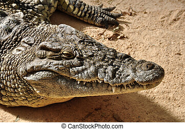 salvaje, cocodrilo, Nilo,  animal