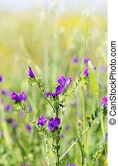 salvaje, flores azules, en, campo