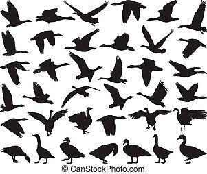 salvaje, gansos, pájaro