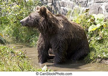 salvaje, oso, enfriamiento, en, agua