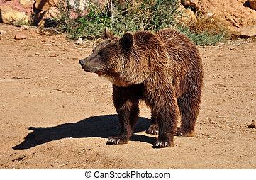 salvaje, oso marrón, animal