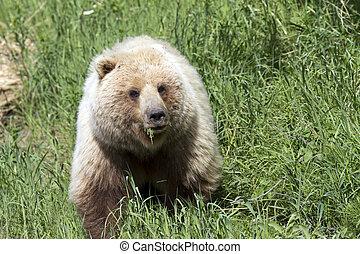 salvaje, oso pardo, pasto o césped, comida, oso