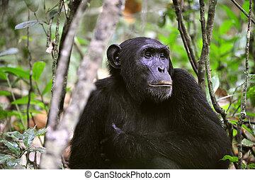 salvaje, retrato, chimpancé