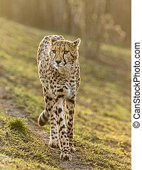 salvaje, retrato, patrullar, guepardo