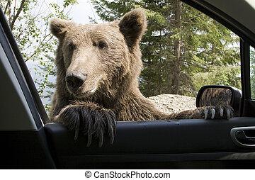 salvaje, ventana de coche, mi, oso