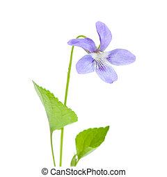 salvaje, violeta
