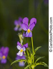 salvaje, violetas
