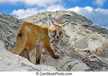 salvaje, zorro, en, un, pico, roca, mirada, en, cámara