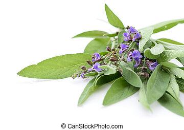 Salvia fresh herb on white