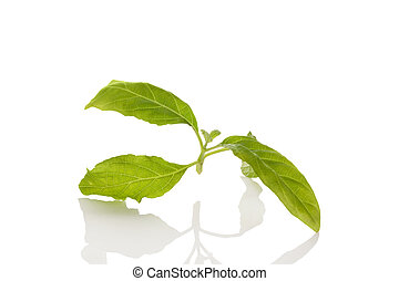 Salvia divinorum. - Salvia divinorum fresh leaves isolated...