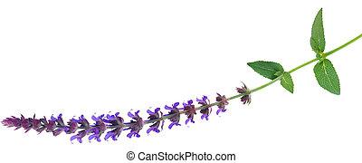 salvia, flor, planta perenne