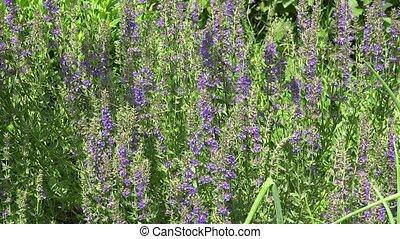Salvia flower herb swing in summer garden. 4K - Salvia...