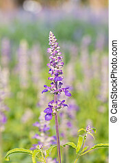 Salvia flower in the garden - Purple salvia flower in the...