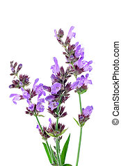salvia flowers on a white background