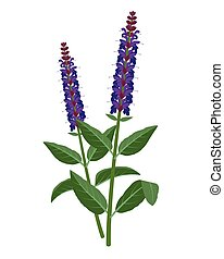 Salvia - healing flower vector medical illustration isolated...