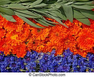 Salvia, marigold and bluebottle - Medicinal herbs - the...
