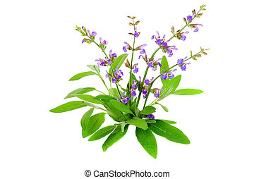 salvia, officinalis