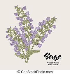 Salvia officinalis flowers and leaves also called sage ...