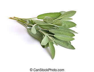 Salvia officinalis, garden sage or culinary sage. Isolated on white