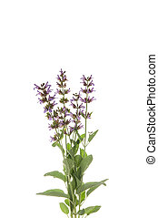 Salvia officinalis, isolated white background. Season plant