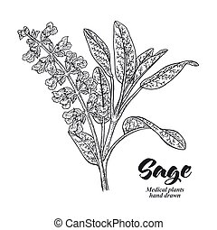Salvia officinalis plant also called sage garden. Leaves and...