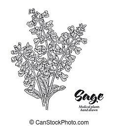 Salvia officinalis plant also called sage garden. Sage ...