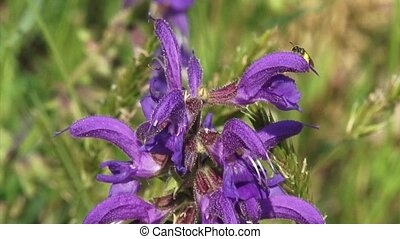 Salvia pratensis, Meadow Clary of Meadow Sage in bloom -...