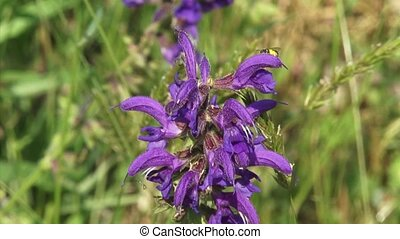 Salvia pratensis, Meadow Clary of Meadow Sage in bloom,...