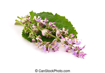 Salvia sclarea, clary, or clary sage, is a biennial or short-lived herbaceous perennial in the genus Salvia. Isolated on white background.