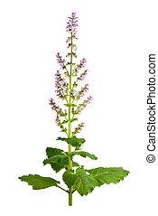 Salvia sclarea, clary, or clary sage