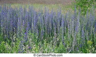 Salvia Superba in summer on meadow