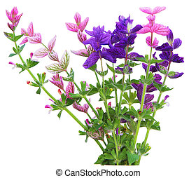 Salvia Viridis annual clary sage spikes flower