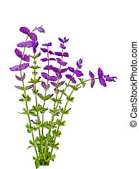 Salvia Viridis wild flower plants isolated on white