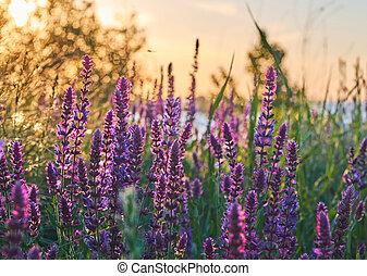 Salwia meadow during sunrise
