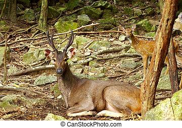 Sambar Deer. (Cervus Unicdor)