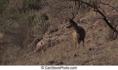 Sambar Deer (Cervus unicolor) for tiger in Ranthambhore N.P.