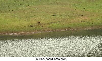Sambar deer crossing a river in Kerala India.