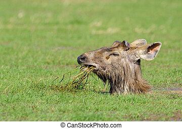 Sambar Deer foraging in lake.