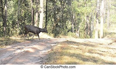 Sambar deer in forest National Park, India - male sambar who...
