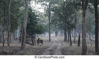 Sambar deer in forest National Park, India
