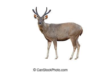 sambar deer isolated