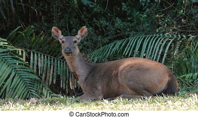 Sambar deer rest in the shade