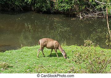 Sambar Doe Deer, Southeast Asian and Indian Deer, Standing and Eating Grass beside Salt Lick and Swamp in Khao Yai National Park in Pakchong, Nakhon Ratchasima, Thailand