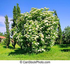 sambuco, fiore, 35
