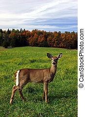samičí, den, podzim, jelen