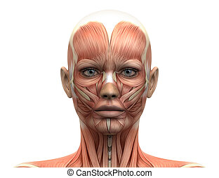 samičí, podzemní chodba sval, anatomie, -, čelo