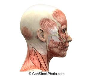 samičí, podzemní chodba sval, anatomie, -, stěna